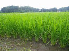 [写真]農園前の田んぼで稲が育っている様子