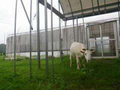[写真]雨除けアーケードの下で草を食べるアラン(名前を呼ばれて顔をあげたところ)