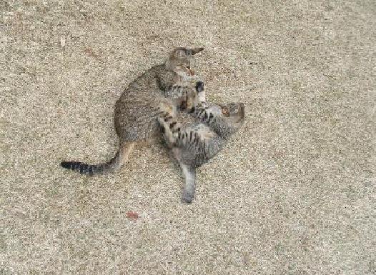 松山総合公園でじゃれあう親子猫 右側の子猫は2012年1月、酷く衰弱しているところを美和さんが保護し、美和さんの実家で家族として迎え入れられました名前はモコちゃんになりました。