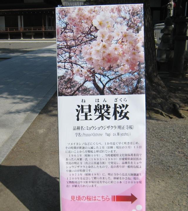 善通寺の涅槃桜