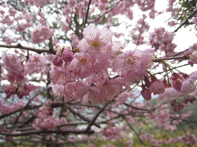 青海神社下の緋寒桜