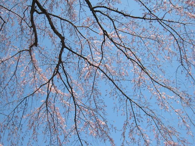 堀池のしだれ桜