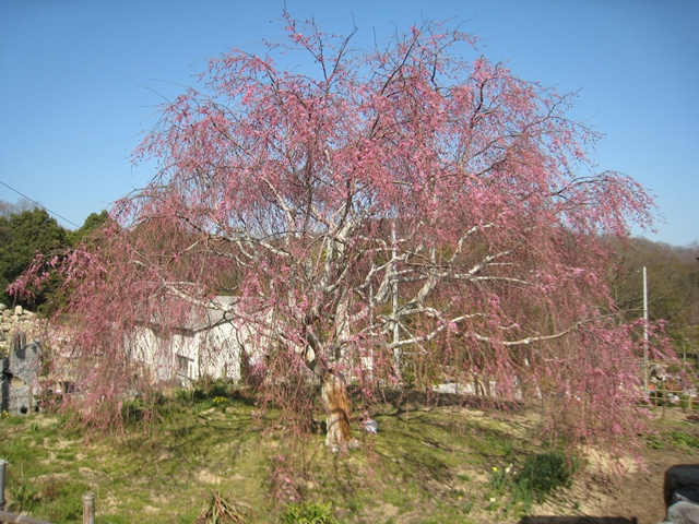 鬼無の想い出桜