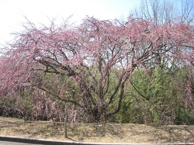 園芸総合センターの紅枝垂れ桜