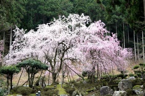 03枝垂れ桜