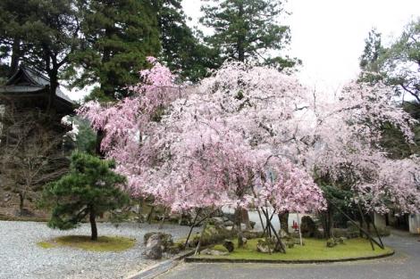 04枝垂れ桜