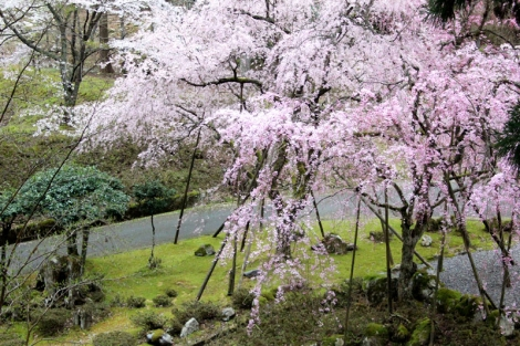 109枝垂れ桜3