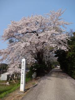 2014年04月27日 東源寺・桜