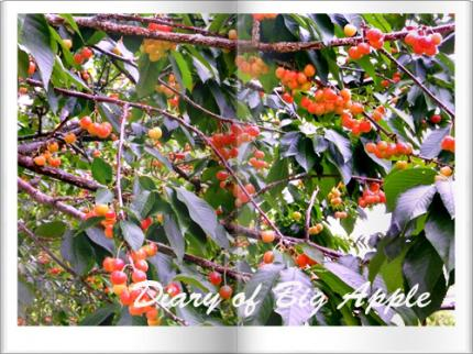 orchardのcherry