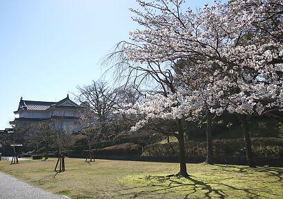 市内桜開花情報2-1