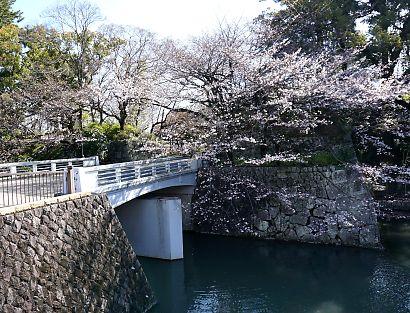 市内桜開花情報2-2