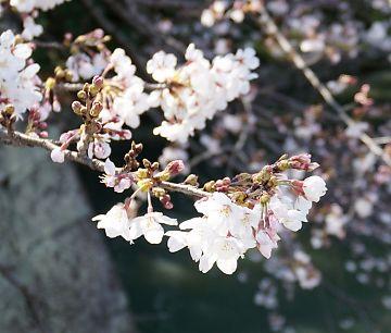 市内桜開花情報2-4