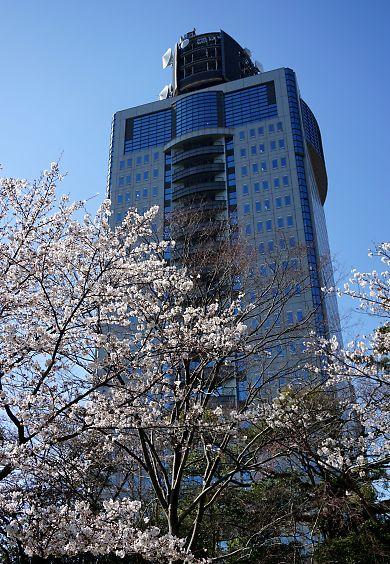 市内桜開花情報2-5