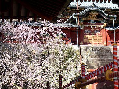 市内桜開花情報2-11