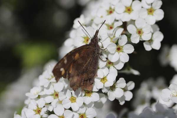 雪柳と天狗蝶