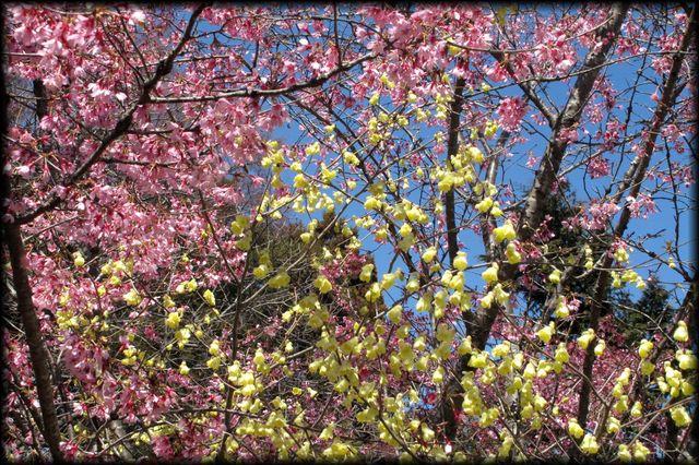 小緋寒桜と日向ミズキ