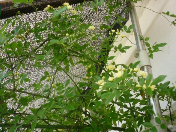モッコウバラ咲いた。