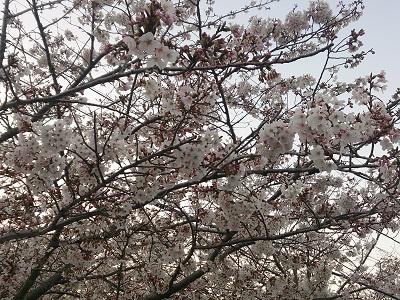 桜 2015.3.31-2