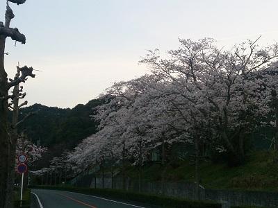 桜 2015.3.31-3