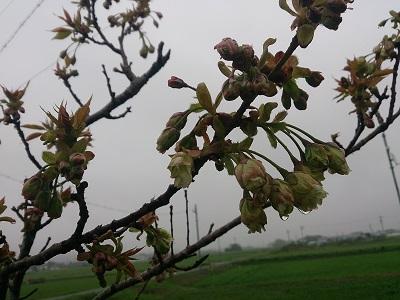 桜 2015.4.5-1
