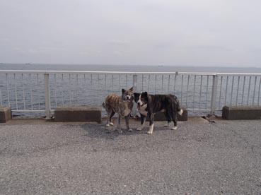 秋田犬散歩会2
