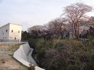 泉南市新家の桜01