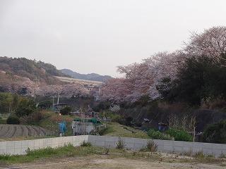 泉南市新家の桜03