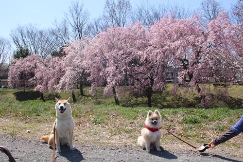 クウチャンとお花見散歩1