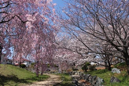 クウチャンとお花見散歩3