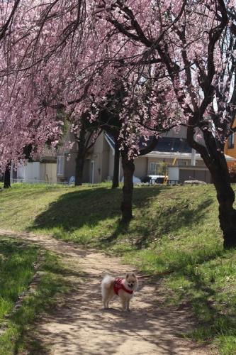 クウチャンとお花見散歩4