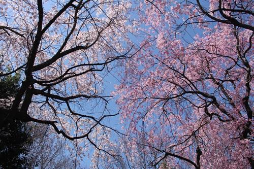 クウチャンとお花見散歩6