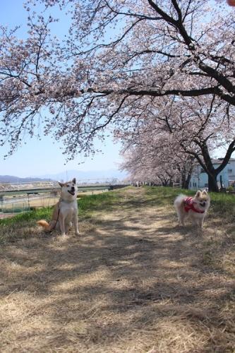クウチャンとお花見散歩8