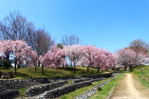 クウチャンとお花見散歩10