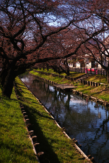 T2Sonnarと川越誉桜
