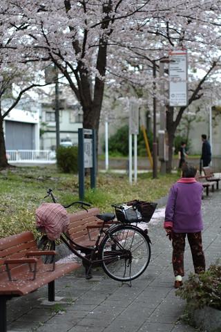 Petrri5514と平塚の桜