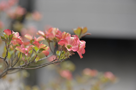 hanamizuki2015416-1.jpg