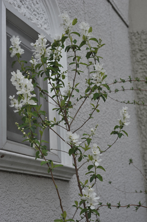 rikyubai2015403-1.jpg