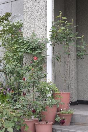 roses2015429-2.jpg