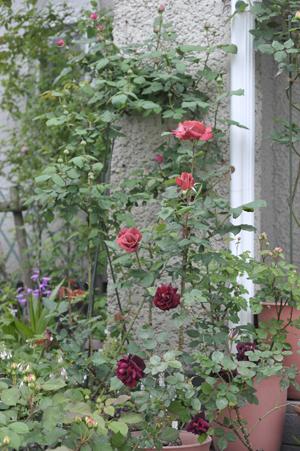 roses2015430-1.jpg