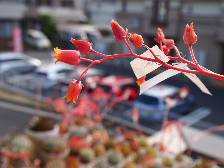 エメラルドシャンペーン花①