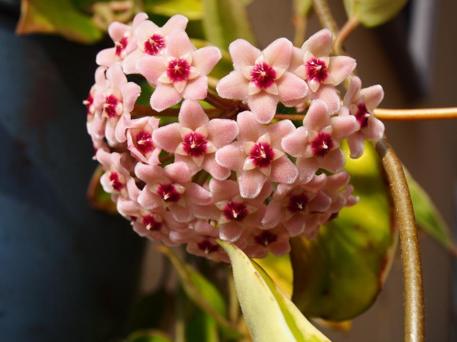 サクララン花②
