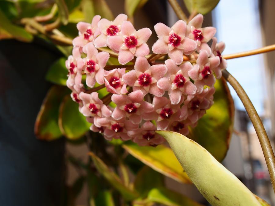 サクララン花①