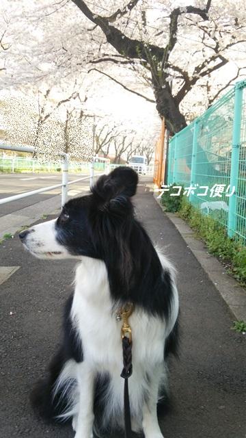 20150406 桜2