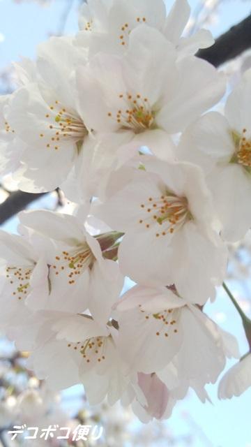 20150406 桜5