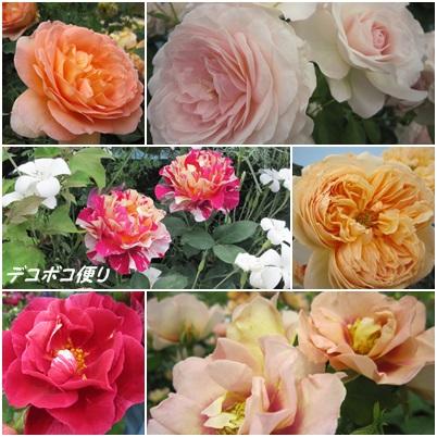 20150513 薔薇1