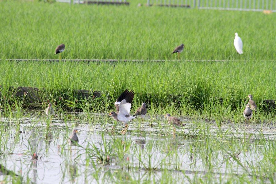 ケリ2015-7-12-1-S高槻市-唐崎IMG_0065