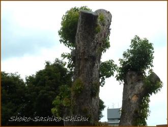 20150621  木 1  バッサリ木のお寺