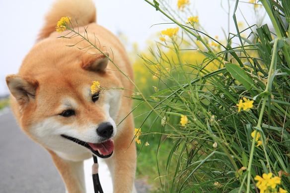 さち菜の花