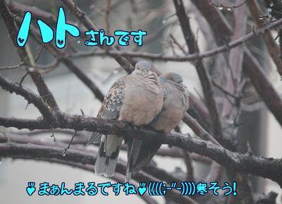 梅の木に雨の中