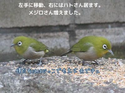 2羽のメジロさんつがいかしら